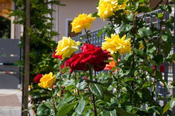 rosen9
